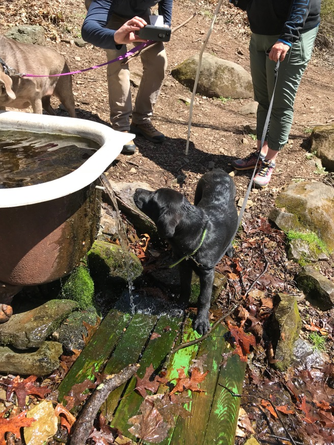 At least two of the springs we saw on the Vining Tract ran into old bath tubs. Banjo loved getting wet and having a big drink. His black coat makes him so hot, I think!